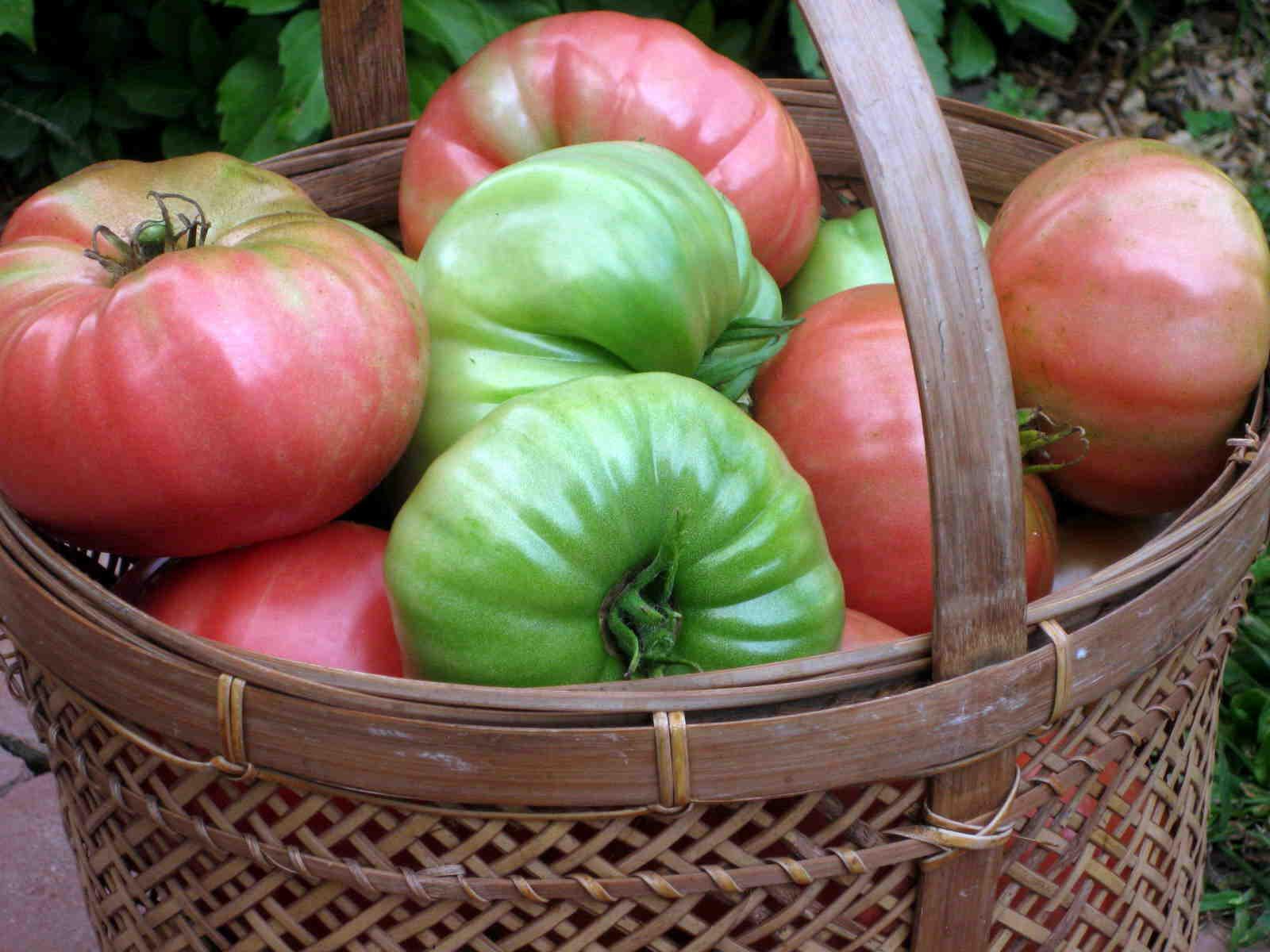 Comment faire murir des tomates vertes